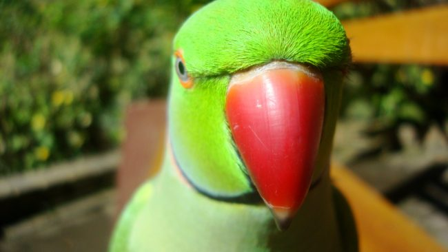 Parakeet-African-Ringneck-Parrot-What-You-Say