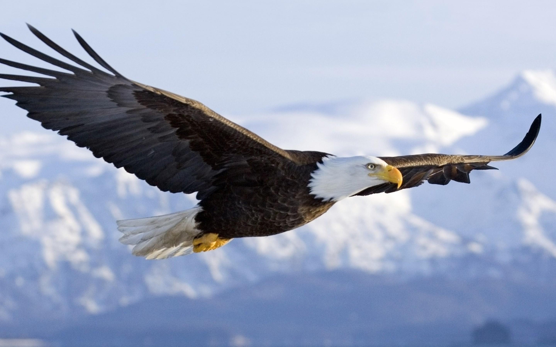 Bald-Eagle3
