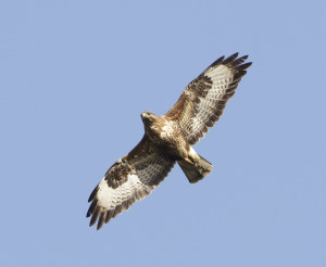 Buzzard-Common1