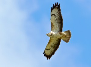 Buzzard-Common3