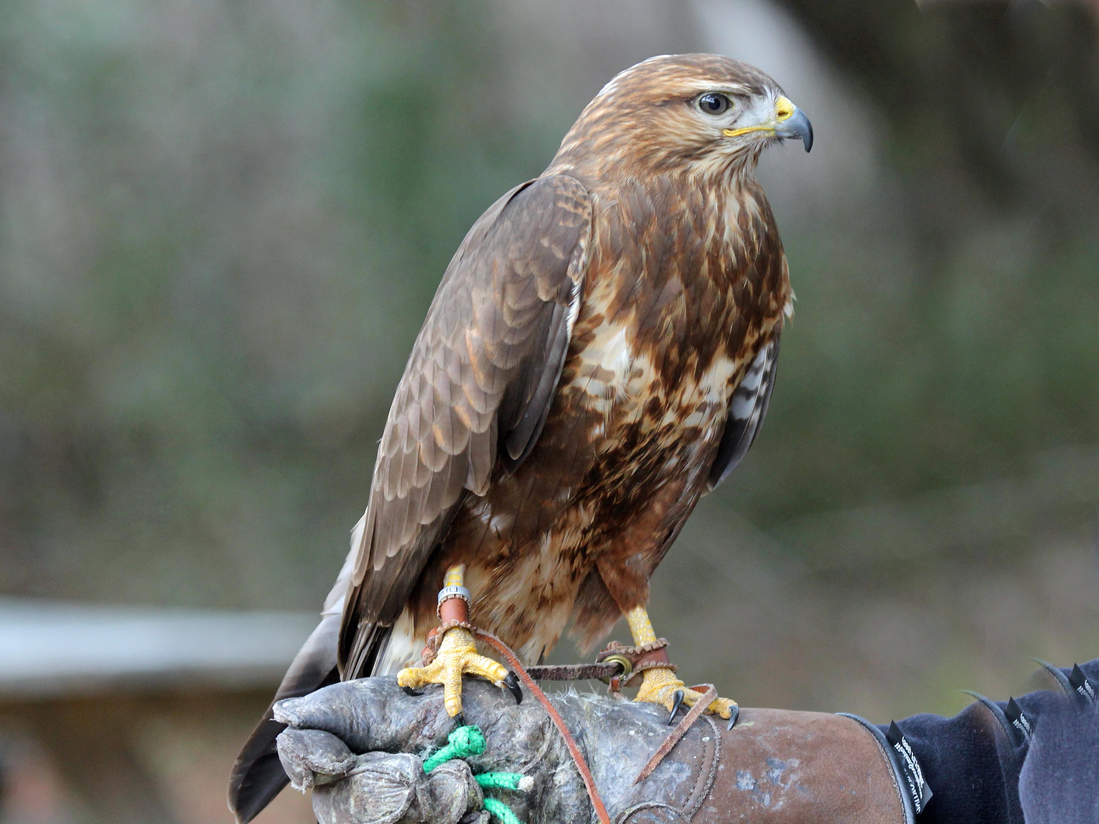 Buzzard-Common5