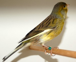 Canary-Spanish-Timbrado