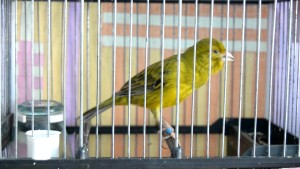 Canary-Spanish-Timbrado1