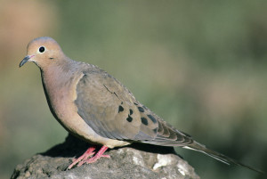 Mourning dove standing in profile