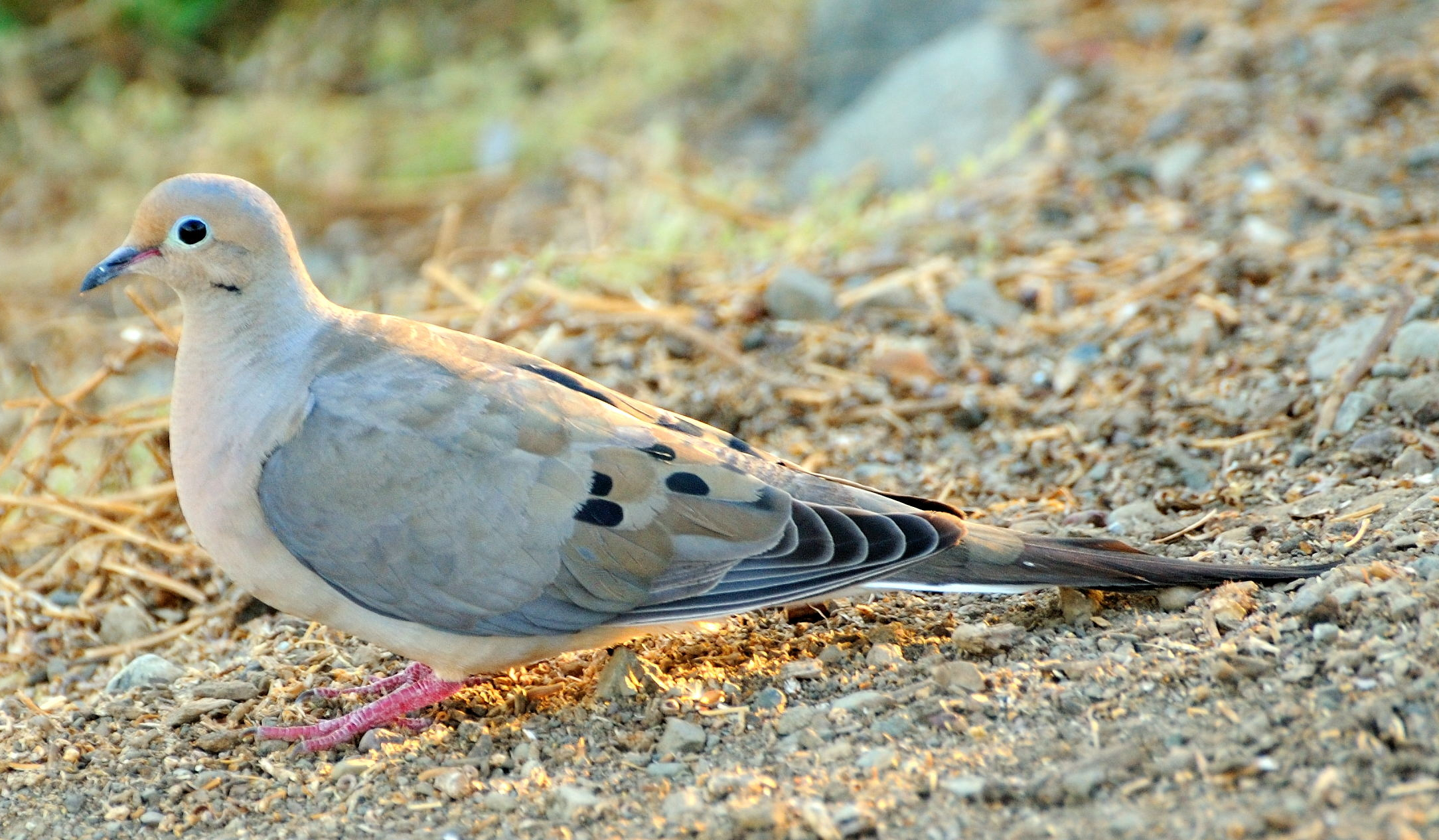Dove-Mourning5