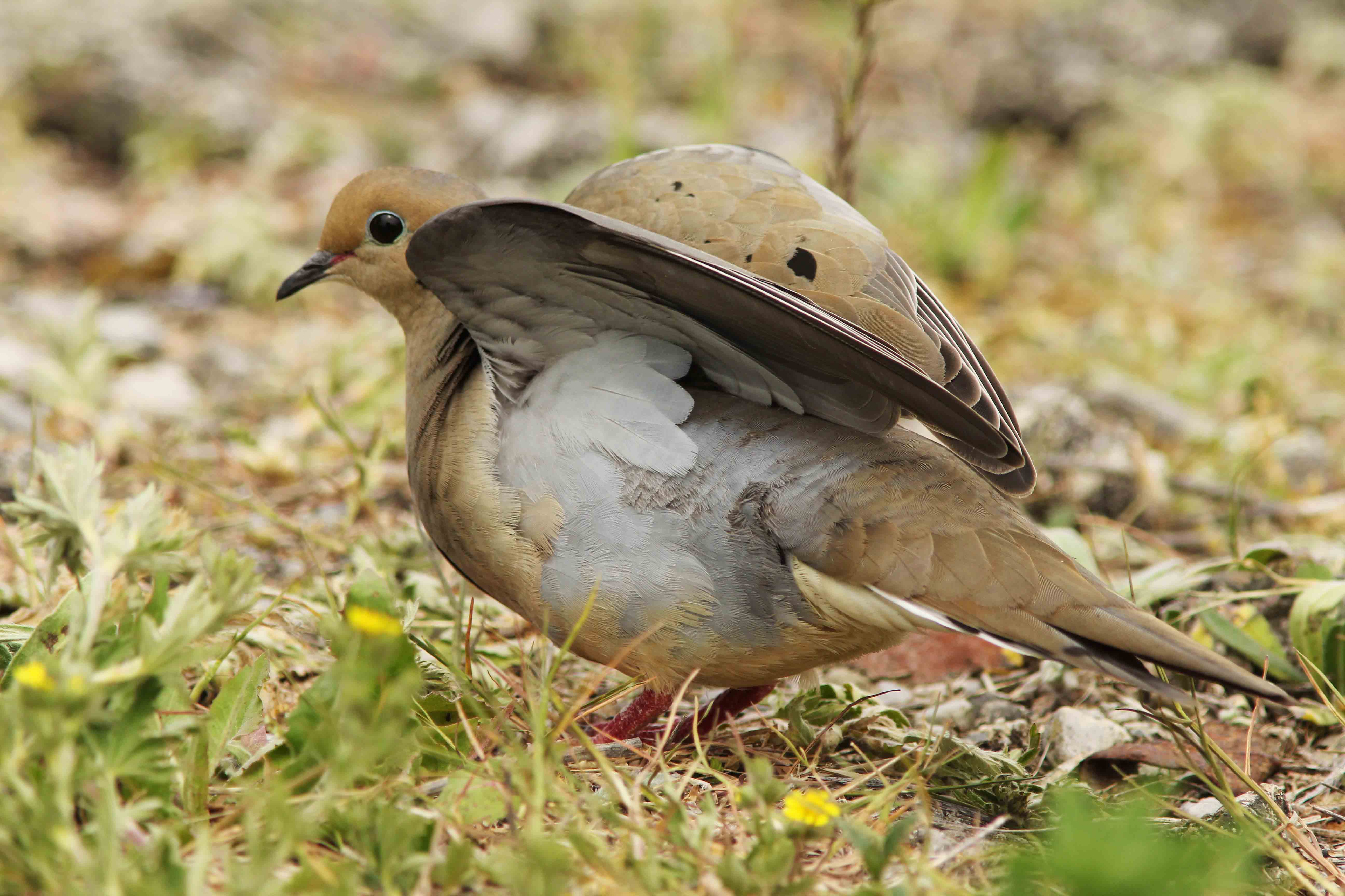 how to catch a mourning dove