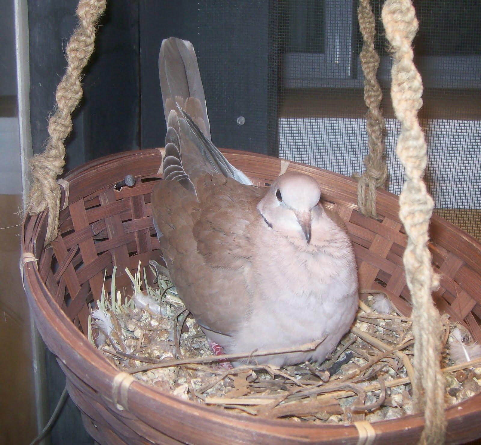 Dove-Ringneck3