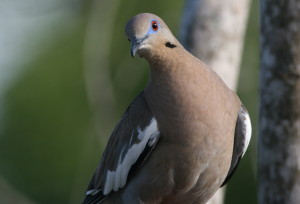Dove-White-Wing