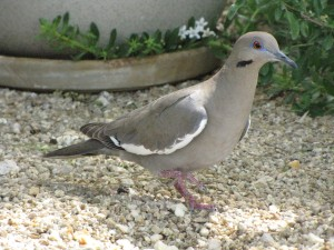 Dove-White-Wing2