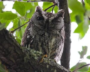 Elf-Owl-Sanfords