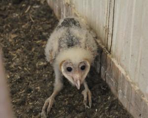 Elf-Owl-Sanfords1