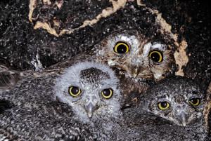 Elf-Owl-Sanfords2