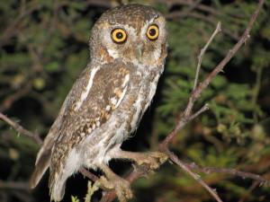 Elf-Owl-Texas