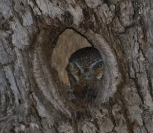 Elf-Owl-Texas1