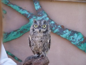 Elf-Owl-Texas2