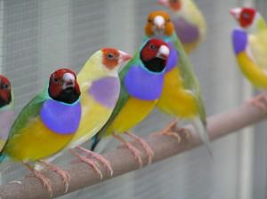 Finch-Gouldian