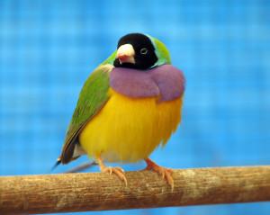 Finch-Gouldian3