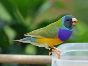 Finch-Gouldian4