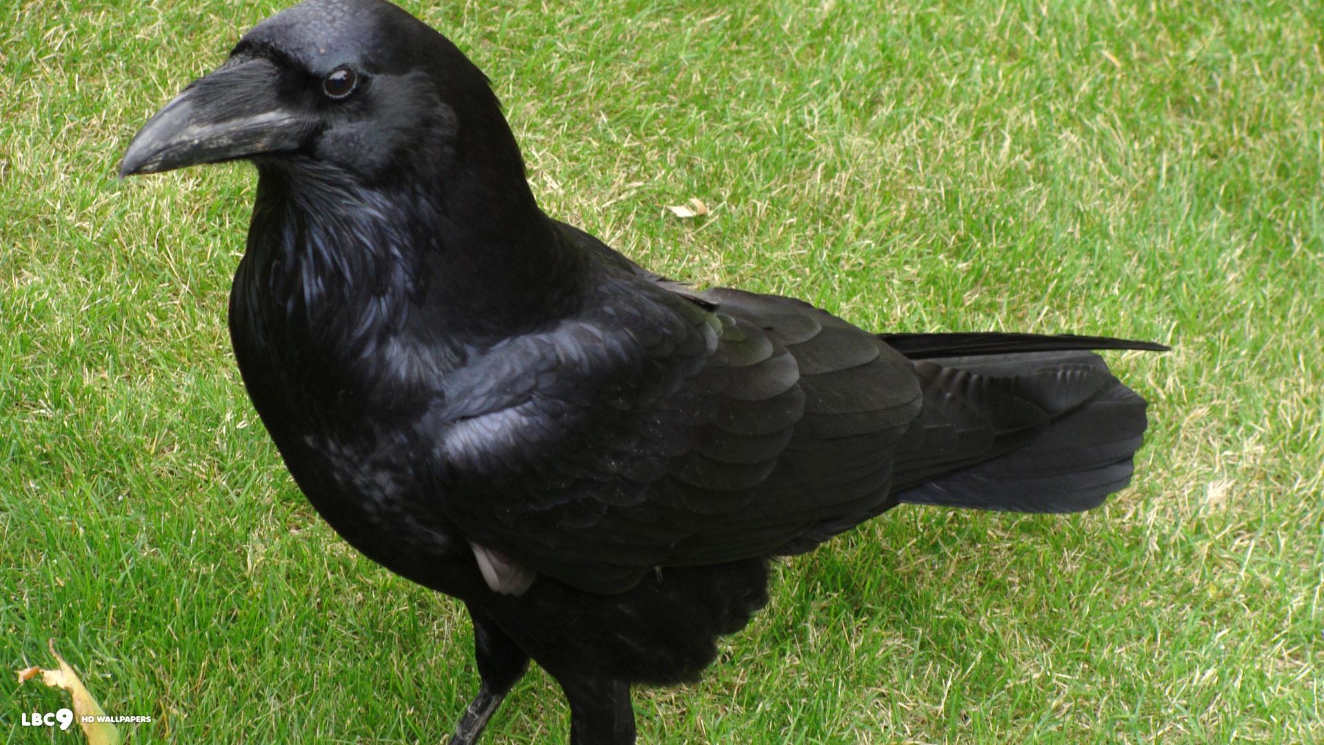 Raven6