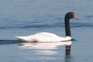 Black-Necked-Swan