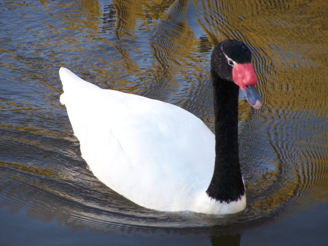 Black-Necked-Swan-Close-Photo