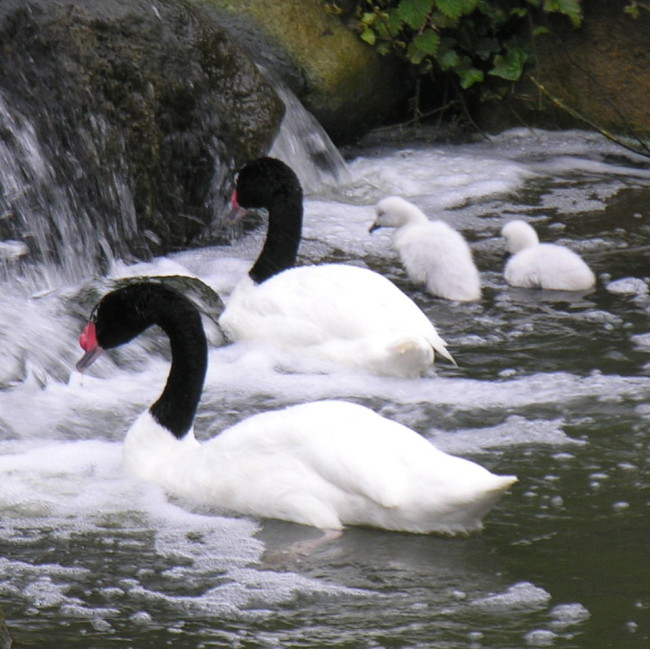 Black-Necked-Swan-Family