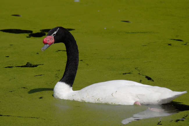 Black-Necked-Swan-Green-Lake