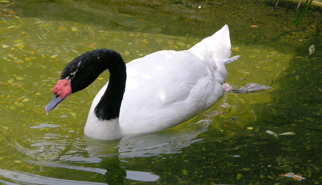 Black-Necked-Swan-Hungry