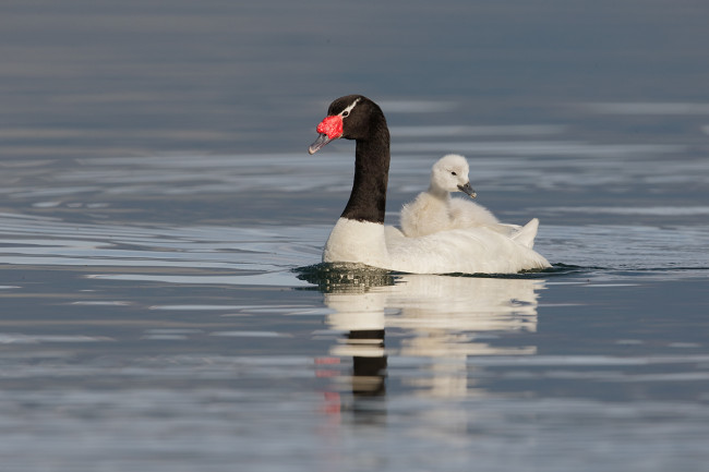 Black-Necked-Swan-Out-For-A-Swim
