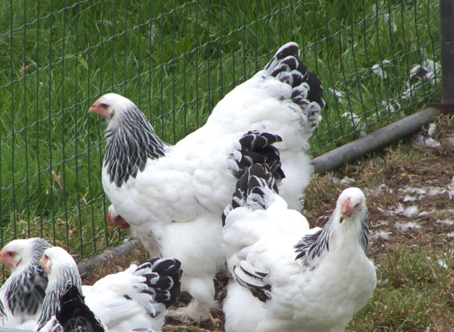 Brahma-Chicken-Big-Family