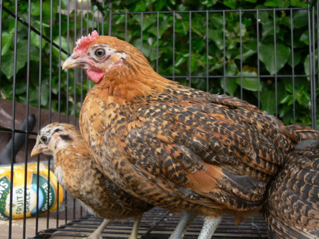 Buttercup-Chicken-Trapped