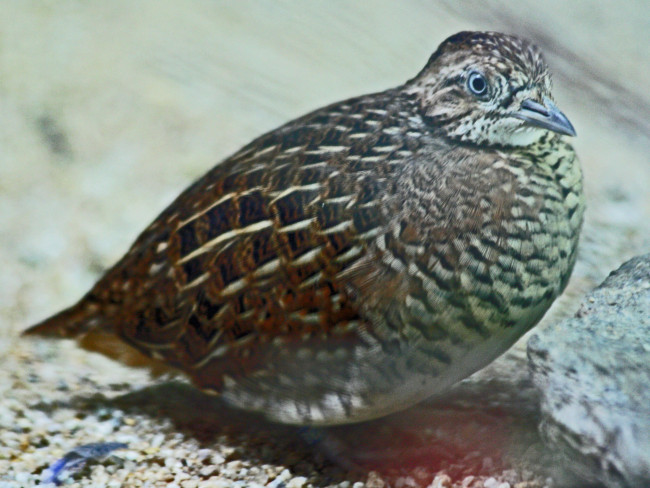 Button-Quail-Portrait