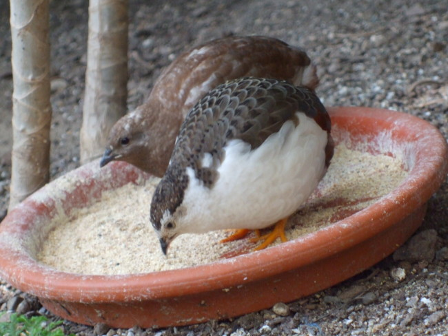Button-Quail-Time-To-Eat