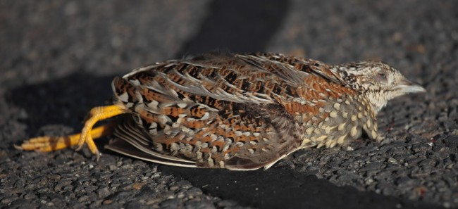 Button-Quail-Tired
