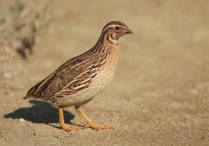 Common Quail Bird Breed