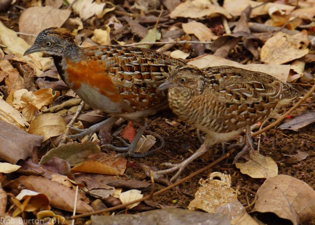 Two Common Quails