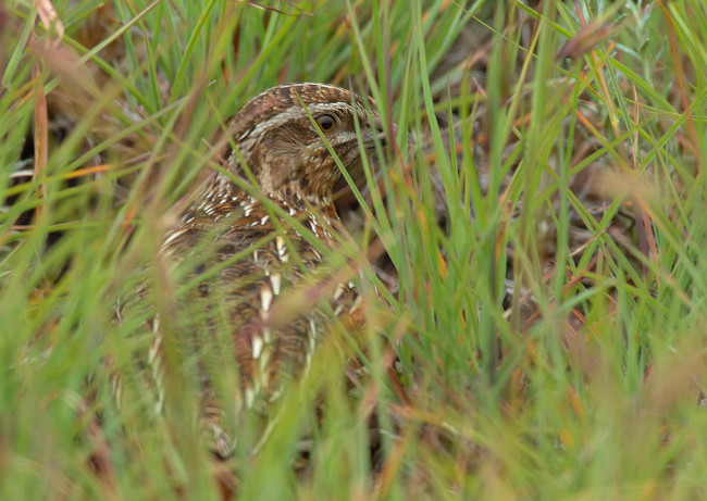 Common Quail Hidden In the Grass