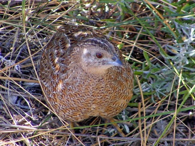 Portrait of a Common Quail