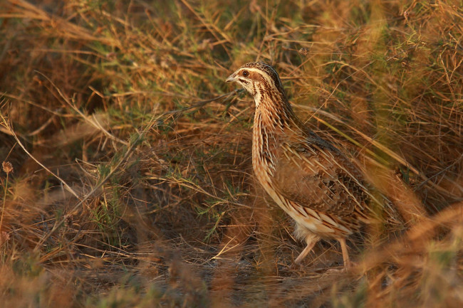 Common Quail Bird at Sunset Wallpaper