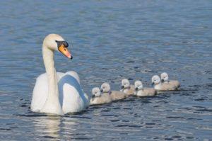 Mute-Swan-Big-Family