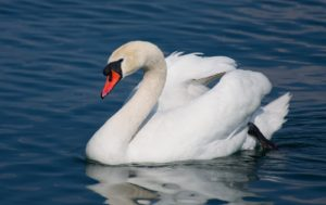 Mute-Swan-Strech