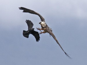 Bearded-Vulture1