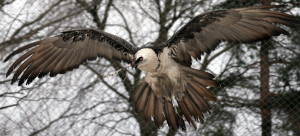 Bearded-Vulture2