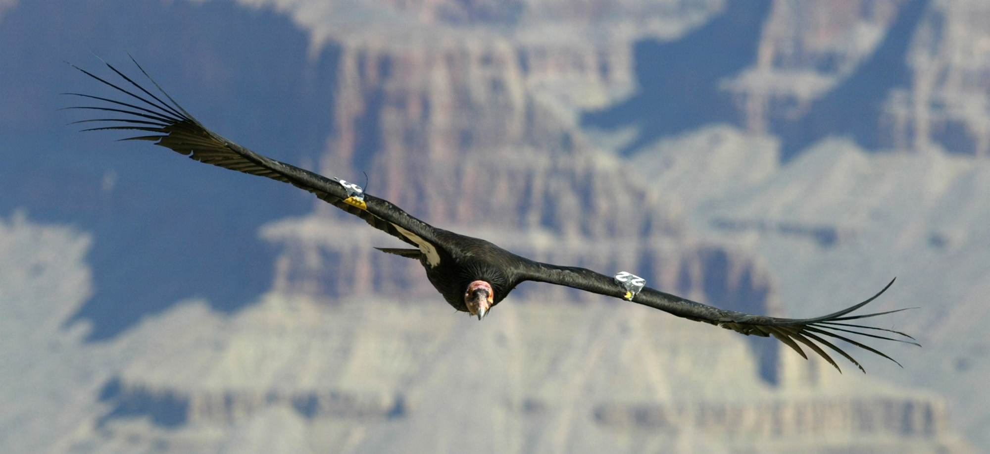 California-Condor5