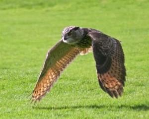 European-Eagle-Owl