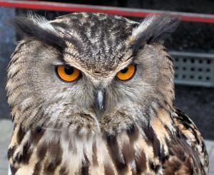 European-Eagle-Owl1