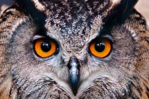 European-Eagle-Owl2