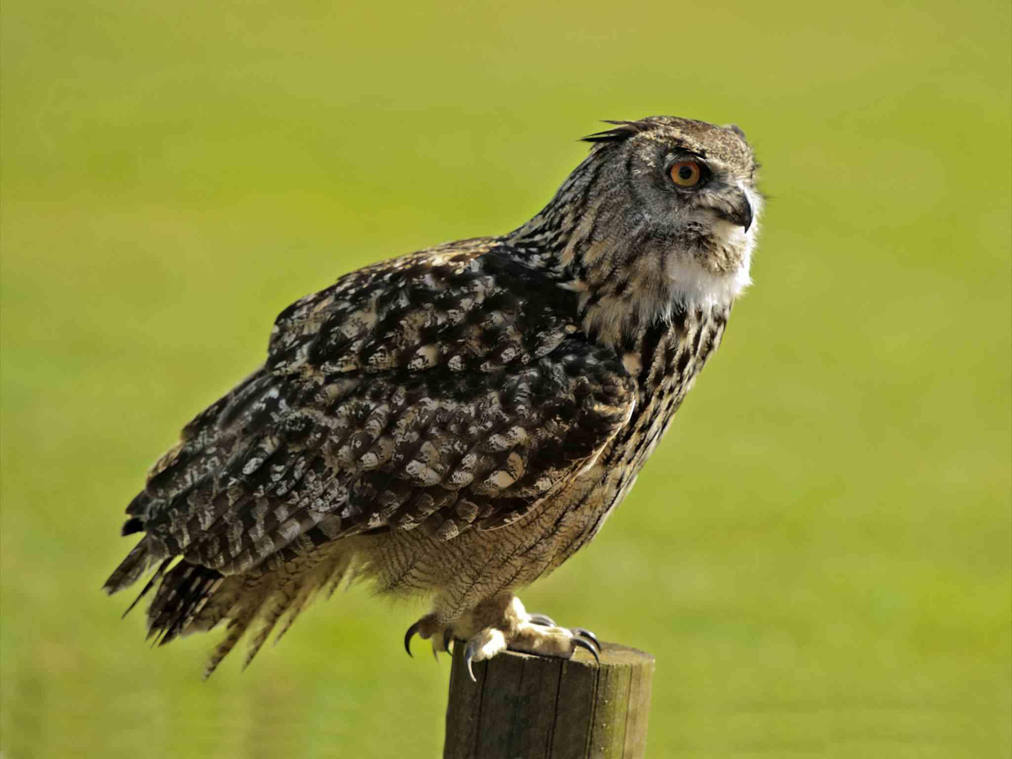 European-Eagle-Owl5