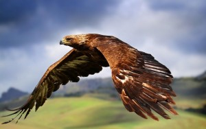 Golden-Eagle1