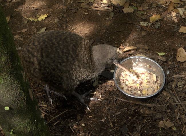 Great-Spotted-Kiwi1